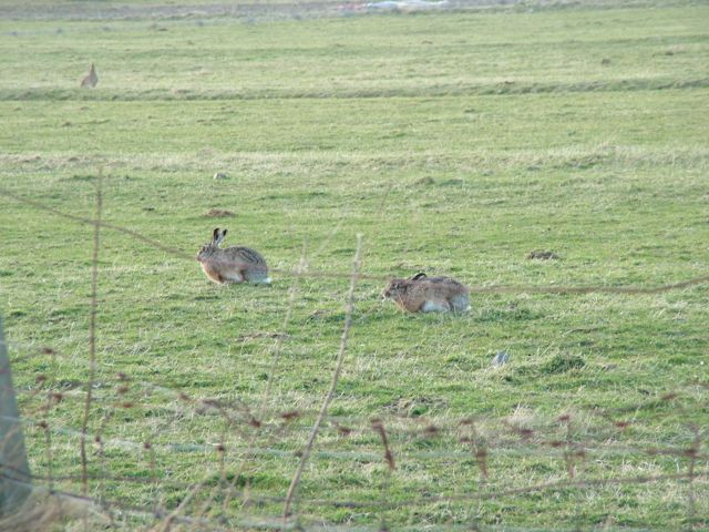Hares at Balephuil