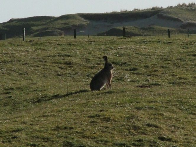 Hare at Balephuil