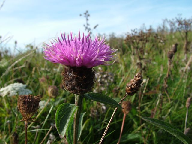 A Thistle in the sun