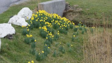 Daffodils by the Mill Hostel