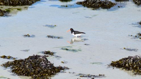 Oyster Catcher down by the pier