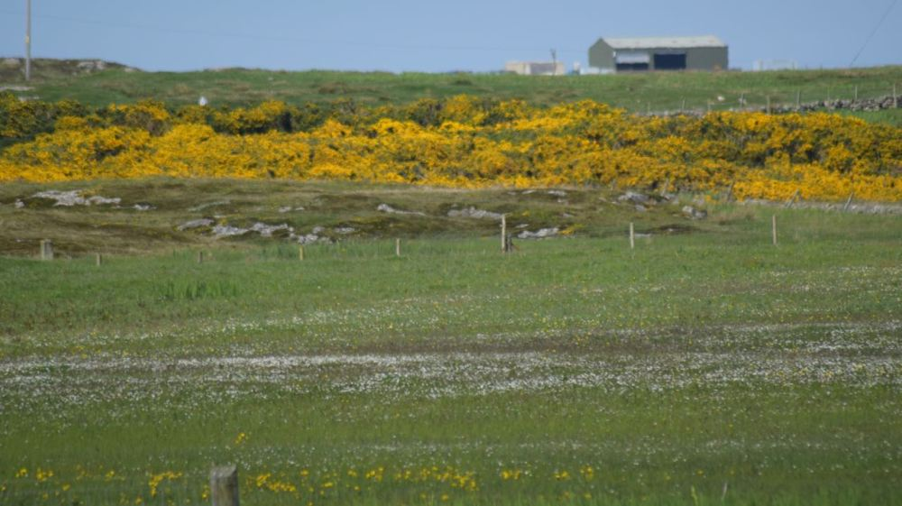 Tiree Gorse