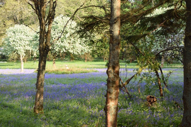 Bluebell woods at Colonsay House