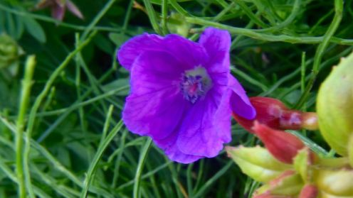 Isle-of-Tiree-Flowers