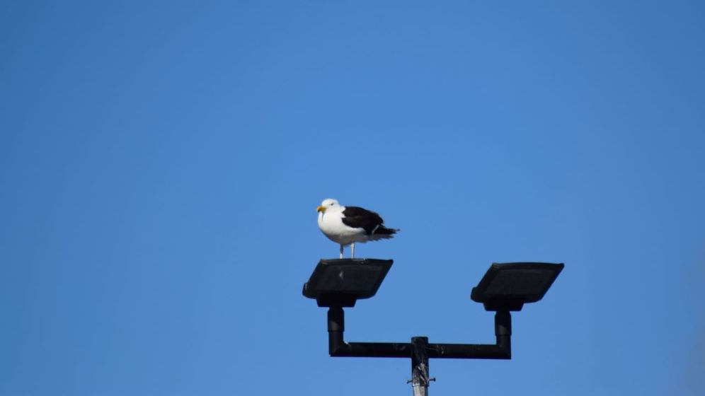 A 'Light Footed Gull' waits for the second sailing of the day