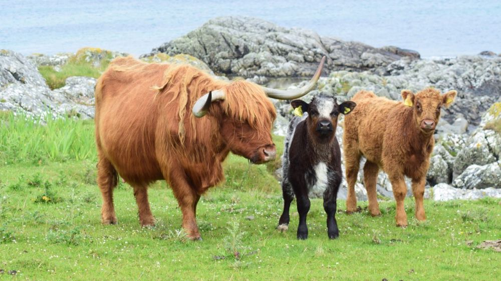 A Highland Cow and an assortment of calves at Hynish