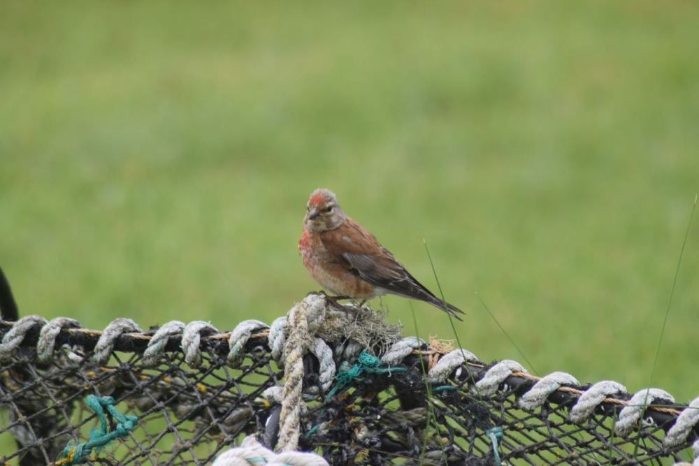 A Linnet posing for the camera.