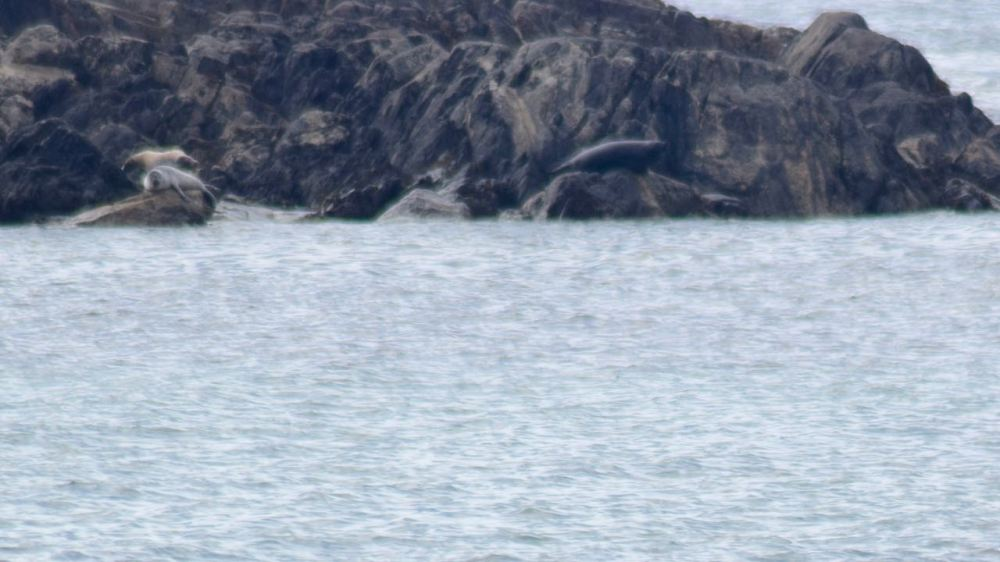 Seal Spotting at the Skerries off West Hynish
