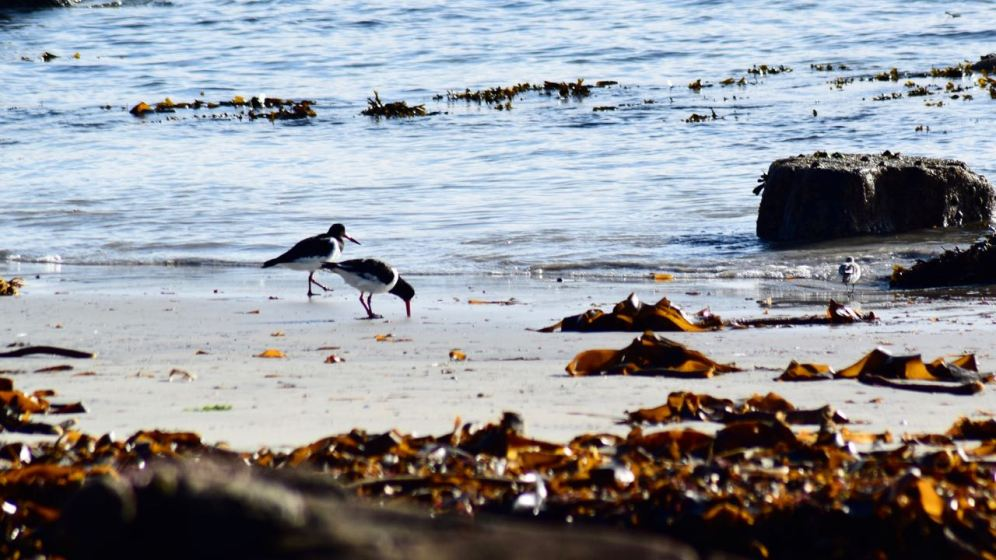 Oyster Catchers getting on with life - oblivious to all the goings on