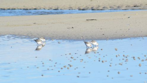 Sanderlings busy reflecting