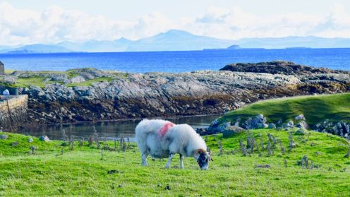 Do sheep appreciate the view they have of Mull?