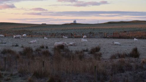 White sheep in frosty white fields