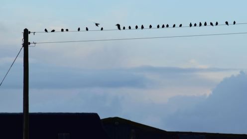 Starlings about to be startled