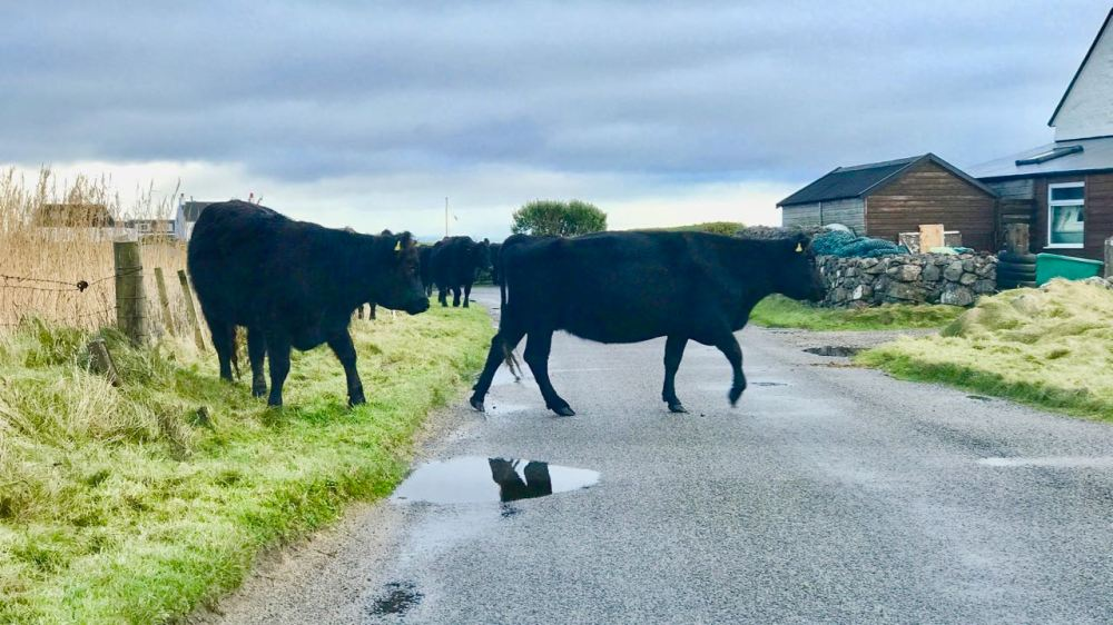 New Aware of Black Cows on the road - especially in the hours of darkness