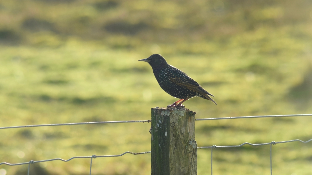 Just one of the many starlings that populate Tiree and visit our feeding station.