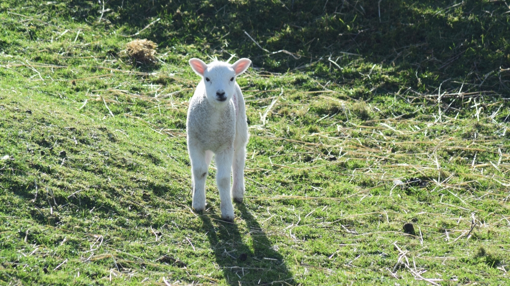 A Tiree lamb close to Patterson's Corner
