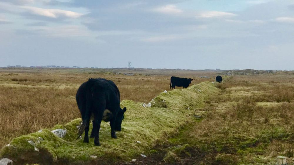 Tiree's famous black cows beside an ancient boundary