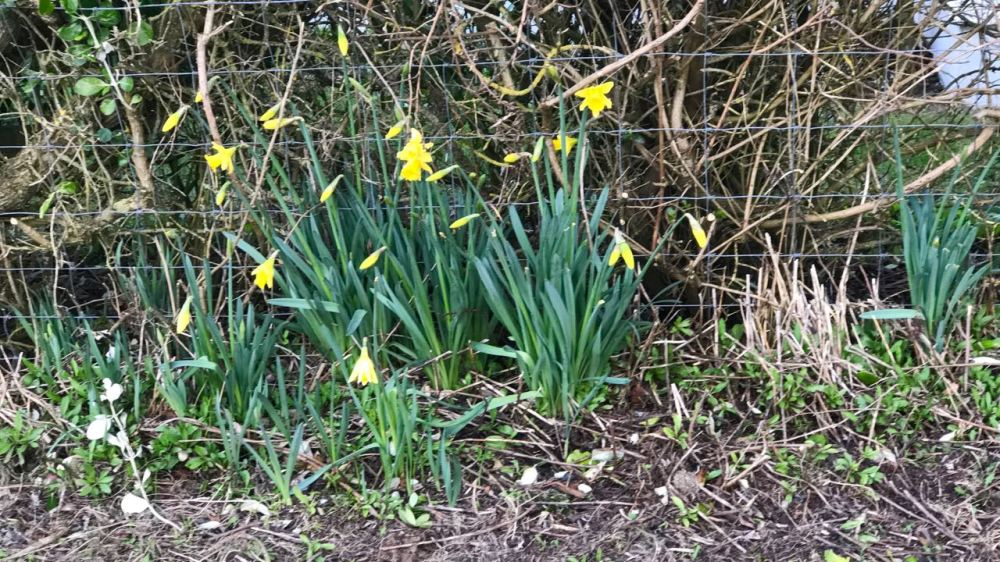 Baugh daffodils, A hint that Spring is on its way