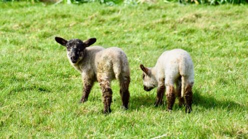 The lambs are not camera shy