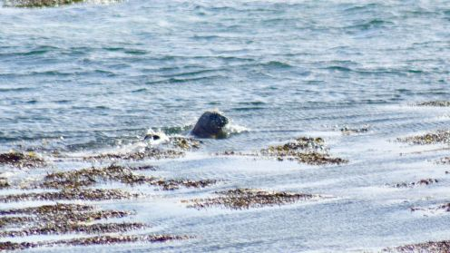 The seal in the channel between Tiree and Soa