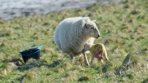 Ewe and her newborn lamb at Gott