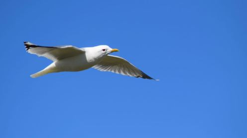 A Gull swooping overhead on Soa