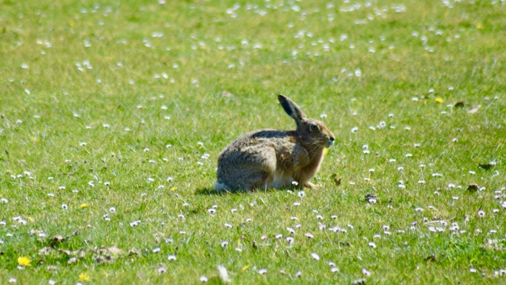Hares Galore