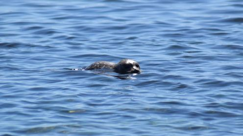 Seal pup at West Hynish