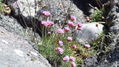 Sea Pinks at West Hynish