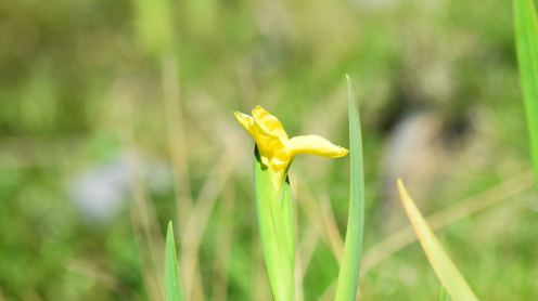 Our first flag iris of the year - at West hynish