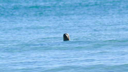 A seal pops up in Balephuil beach to say hello