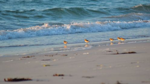 Sanderlings reflecting the setting sun