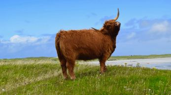 A Highland Cow scratching itself