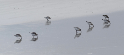 Sanderlings on the silvery sand