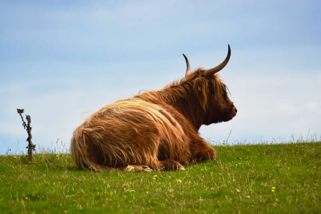 A Highland Cow quietly ruminating in Happy Valley