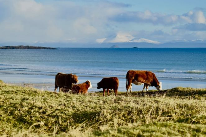 Cattle close to the shore ar Crossapol