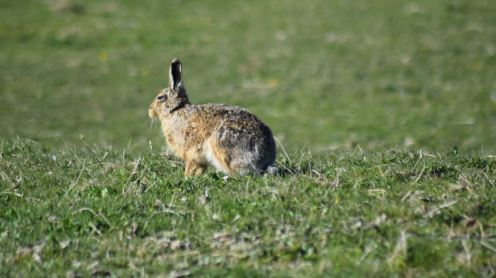 A Hare at Balephuil