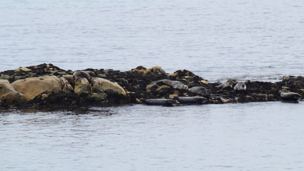 Seals awaiting the arrival of the MV Lord of the Isles