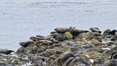 The Seal Colony at West Hynish