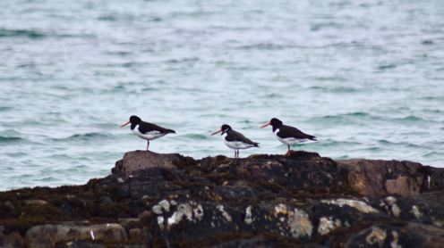 Oyster Catchers and a gull - residents at Gott Bay