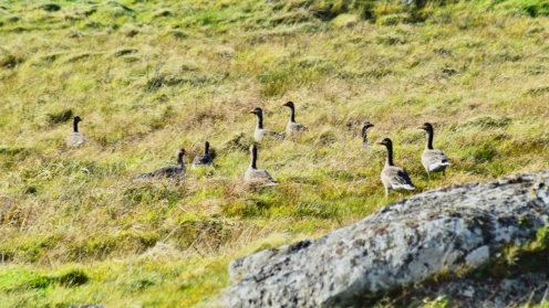 Geese at West Hynish