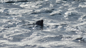 Seals - West Hynish